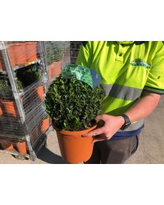 Buxus Sempervirens Or Box Ball  3 Litre Pot 20cm Round