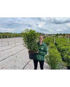 Portuguese Laurel Myrtifolia 10 Litre 70-80cm