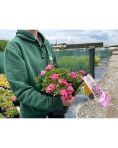 Rose Pink Pins 4.5 Litre Pot