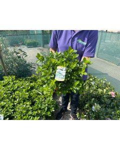 Azalea Japonica Adonis 2 Litre Pot