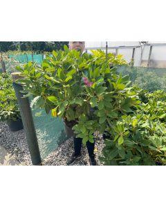 Rhododendron Hybrid Cosmopolitan 10 Litre Pot