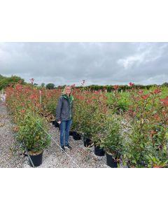 Photinia Red Robin 18 Litre Pot