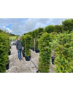 Yew Hedging 45 Litre 140cm+