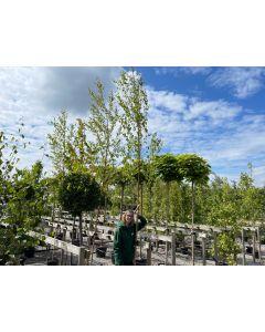 Betula Pendula 6/8cm Girth 3.5-4m