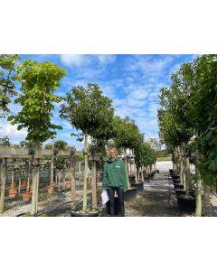 Prunus Lusitanica Myrtifolia 3/4 Standard 150/160cm Stem