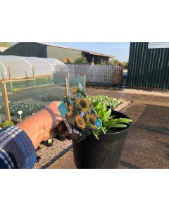 Echinacea Sunseekers Yellow 2 Litre Pot