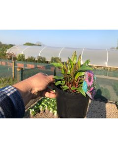 Echinacea Sunseekers Purple 2 Litre Pot
