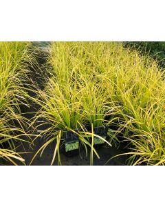 Carex Everillo 2 Litre Pot