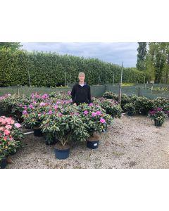 Rhododendron Hybrid Roseum Elegans 15 Litre Pot