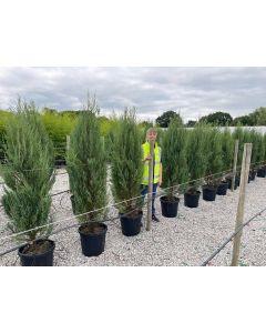 Juniperus Blue Arrow 30 Litre Pot 140-150cm