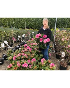 Rhododendron Hybrid Cosmopolitan 3 Litre Pot