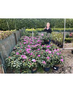 Rhododendron Hybrid Roseum Elegans 7.5 Litre Pot