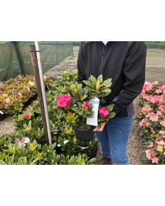 Rhododendron Rocket 3 Litre Pot