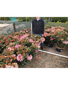 Rhododendron Hybrid Cosmopolitan 15 Litre Pot