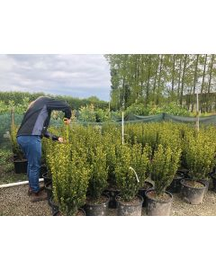 Yew Hillii Hedging Root Ball 50-60cm