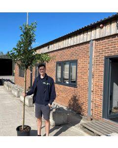 Prunus Lusitanica Myrtifolia Full Standard 160cm Stem