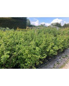 Hornbeam Hedge Bare Root 80-100 cm