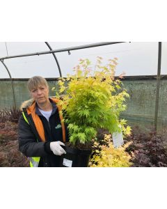 Acer Palmatum Orange Dream 10 Litre Pot