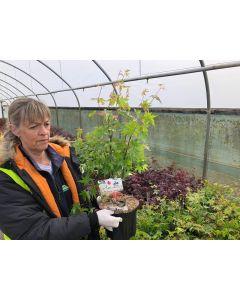 Acer Palmatum Oridono Nishiki 5 Litre Pot