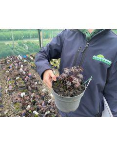 Geranium Black Beauty 2 Litre Pot