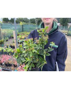 Viburnum Tinus Eve Price 2 Litre Pot