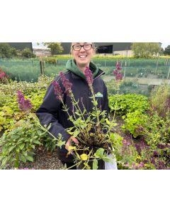 Salvia Plumosa 1.5 litre Pot