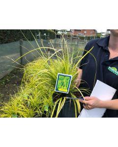 Carex Everillo 5 Litre Pot