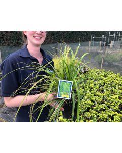 Carex Everlime 2 Litre Pot
