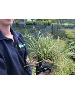 Carex oshimensis Evergold 2 Litre Pot