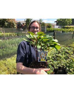 Paeonia Green Lotus 5 Litre Pot