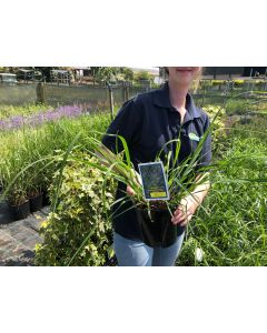 Pennisetum Red Head 2 Litre Pot