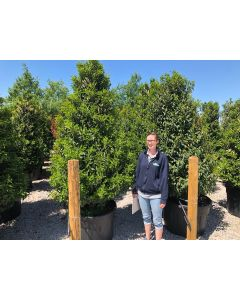 Portuguese Laurel Monster Root Ball 240-250cm