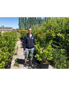 Magnolia liliflora Nigra 30 Litre Pot