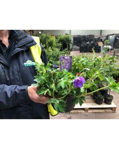Geranium Hybrid Rozanne 3 Litre Pot