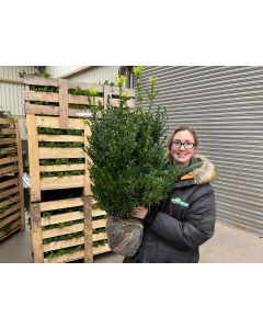 Box Hedging 80 cm Extra Bush