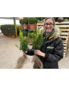 Box Hedging 25/30cm Bare Root