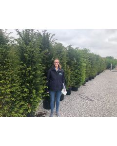 Yew Hedging Rootball 180-200cm Extra Wide Pre Order