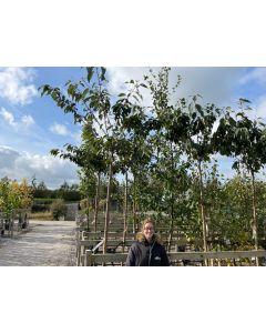 Prunus subhirtella Autumnalis Rosea 30 Litre Pot