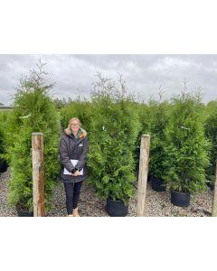 Juniperus Scopulorum Blue Arrow 35 Litre Pot 150cm