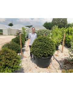 Yew Ball 100cm Wide 230 Litre Pot