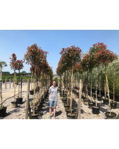 Photinia Red Robin Standard 35 Litre Pot G 6/8cm