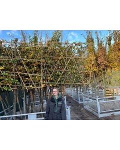 Photinia Red Robin 15 Litre Pot 110-140 cm