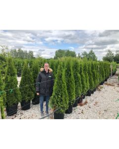 Thuja Emerald Root Ball 125-150 cm
