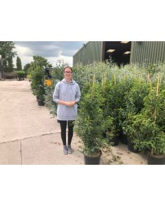 Portuguese Laurel 15 Litre Pot 120 cm