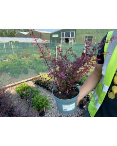 Berberis Rose Glow 2 Litre Pot