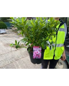Azalea Japonica Herbert 2 Litre Pot