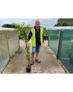 Trachelospermum Jasminoides 3 Litre Pot 180/200cm