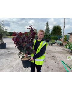 Cercis canadensis Red Force 10 Litre Pot