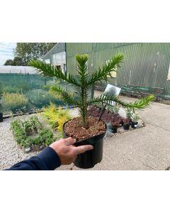 Araucaria Araucana 4 Litre Pot 30/40cm