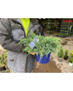 Juniperus Blue Carpet 4.5 Litre Pot